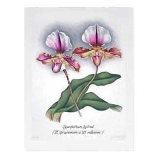 Cypripedium hybrid (P. spicerianum x P. villosum ) Postcard