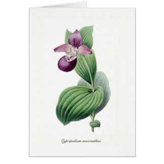 Cypripedium macranthos card