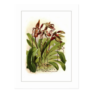 Cypripedium sanderianum postcard
