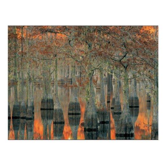 cyprus trees postcard