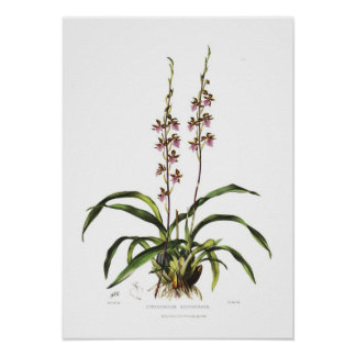 Cyrtochilum bictoniense by Miss S A Drake. Poster