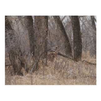 D0001 White-tail Deer Postcard