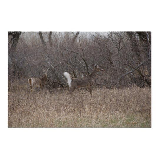 D0002 Whitetail Deer Poster