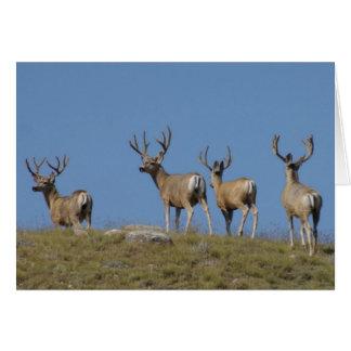 D0009 Mule Deer Bucks in Velvet Card