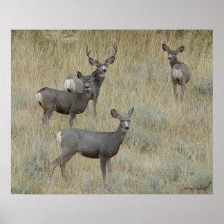D0018 Mule Deer Poster