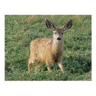 D0019 Mule Deer Fawn postcard