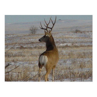 D0020 Mule Deer Buck Postcard