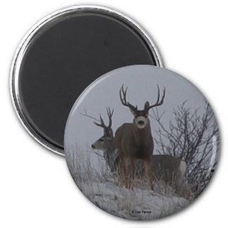 D0021c Mule Deer Bucks magnet