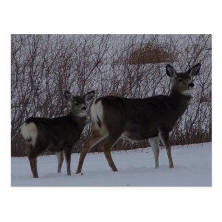 D0024 Mule Deer Doe and Yearling Postcard