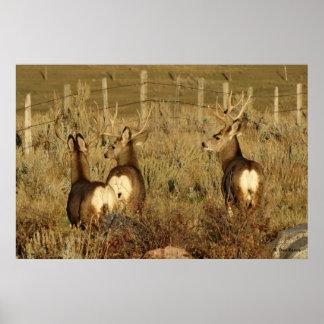 D0030 Mule Deer Bucks Poster