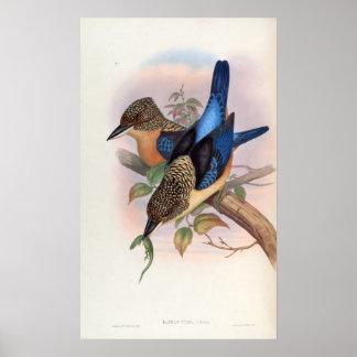 Dacelo Tyro (Spangled Kookaburra) Poster