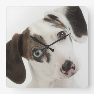 Dachshund/Chihuahua female puppy staring Square Wall Clock