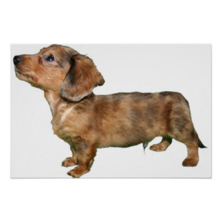 Dachshund Dapple Longcoat Pup Poster