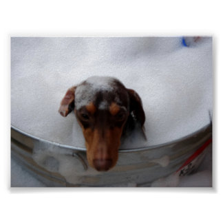 Dachshund in Tub Poster