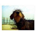Dachshund lindo del wiredhair en la playa postal