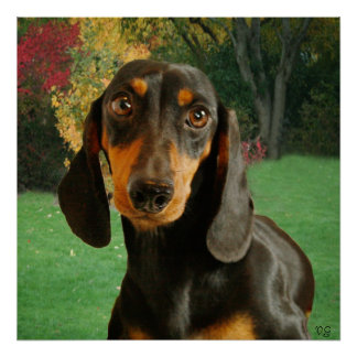 Dachshund (Mini Brown Short Haired) In Nature Poster