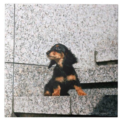 Dachshund miniatura 4 azulejo cuadrado grande