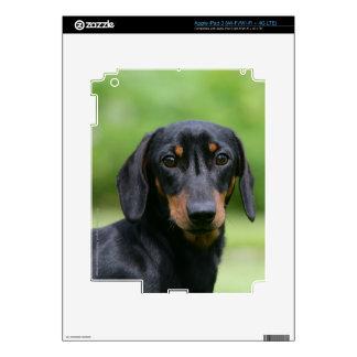 Dachshund negro y del moreno 1 de Miniture iPad 3 Skins