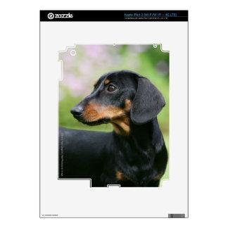 Dachshund negro y del moreno 2 de Miniture iPad 3 Skins