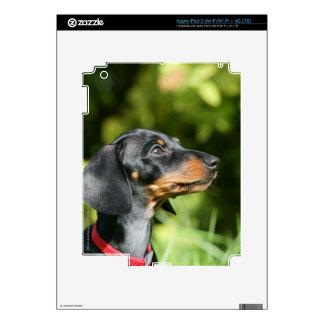 Dachshund negro y del moreno 3 de Miniture Pegatinas Skins Para iPad 3