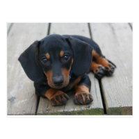 Dachshund Puppy Black Postcard