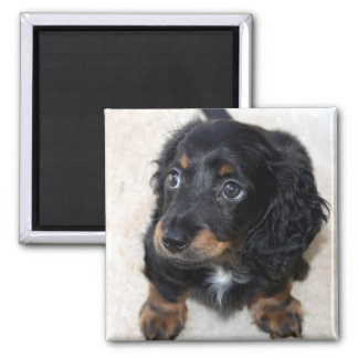 Dachshund puppy dog cute beautiful photo, gift 2 inch square magnet