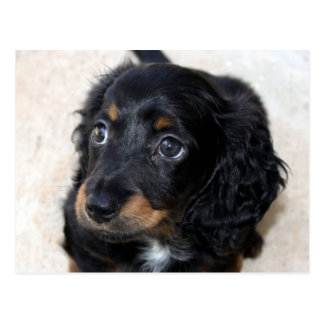 Dachshund puppy dog cute beautiful photo postcard