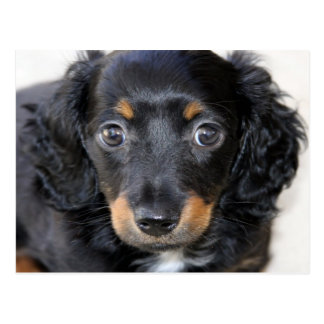 Dachshund puppy look forward to mom love postcard