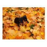 Dachshund Puppy Postcard at Zazzle