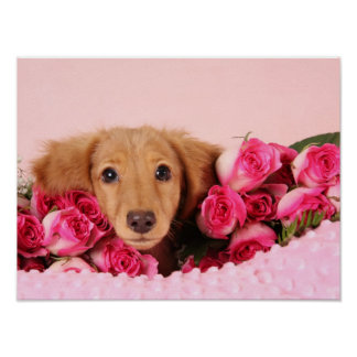 Dachshund Puppy Surrounded by Roses Poster