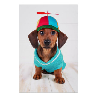 Dachshund Puppy Wearing Propeller Hat Poster