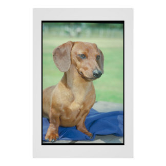 Dachshund Red Smooth Coat Poster