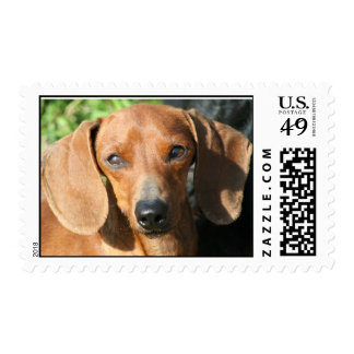 Dachshund Smooth Coat Red Stamp