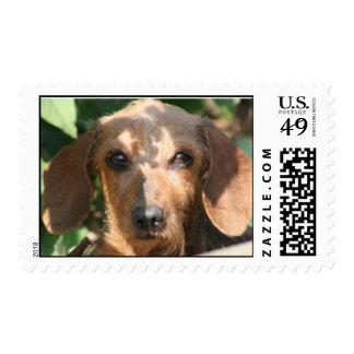 Dachshund Wire Coat Postage Stamp