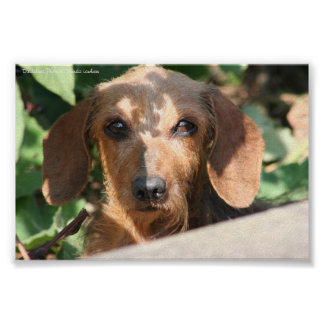 Dachshund Wirecoat Photo Posters