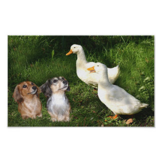 Dachshunds Poster With Ducks