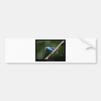 Dacnis cayana - Blue Dacnis (male) 01 Bumper Sticker