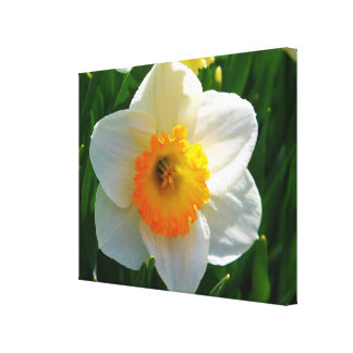 Daffodil at the Littlefield Garden in Orono, Maine Canvas Print