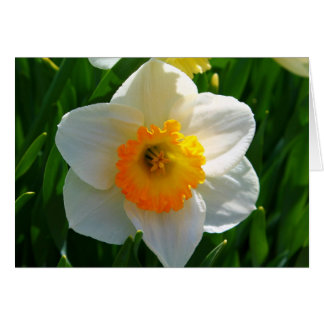 Daffodil at the Littlefield Garden in Orono, Maine Card