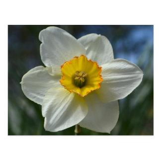 Daffodil Blank Postcard