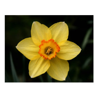 """daffodil"" by Coressel Productions Postcard"