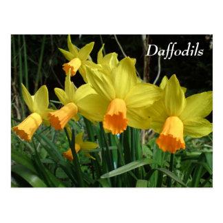 Daffodil Card Postcard