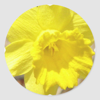 Daffodil Classic Sticker