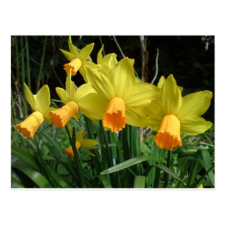 Daffodil easter card postcard