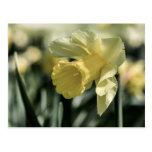 Daffodil Flower Photography Postcard