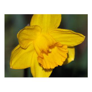 Daffodil flower postcard