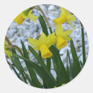 Daffodil Growing Classic Round Sticker