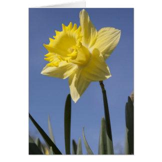 Daffodil in spring greeting card