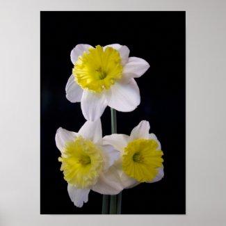 Daffodil on Black Part Dieux zazzle_print