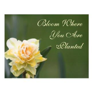 Daffodil Rose Photography Postcard